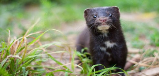 Spain to compromise 92,700 mink to safeguard farm workers from COVID-19